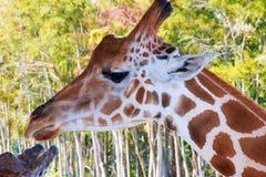 Een portret van Giraf met een Lange hals royalty-vrije stock afbeelding