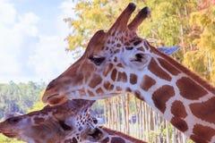 Een portret van Giraf met een Lange hals stock afbeeldingen