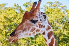 Een portret van Giraf met een Lange hals stock foto's