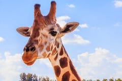Een portret van Giraf met een Lange hals royalty-vrije stock foto's