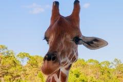 Een portret van Giraf met een Lange hals royalty-vrije stock foto