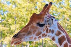 Een portret van Giraf met een Lange hals stock fotografie