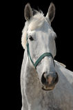 Een portret van grijs paard dat op zwarte wordt geïsoleerd Stock Foto