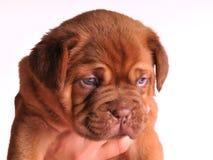 Een portret van het puppy van Dogue DE Bordeaux Stock Foto's