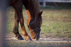 Een portret van een paard dat weidt Stock Foto's