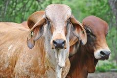 Een portret van 2 stieren Royalty-vrije Stock Afbeeldingen