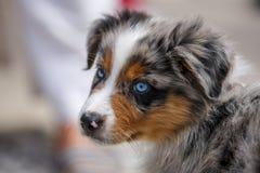 Een portret van een super leuk Australisch Shepard-puppy stock afbeelding