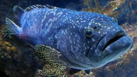Een Portret van een Tandbaarsvis stock foto