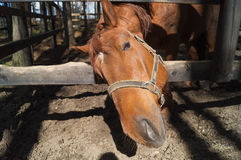 Een portret van vriendschappelijk loooking paard Royalty-vrije Stock Fotografie