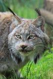 Canadese Lynx (wijfje) Stock Fotografie