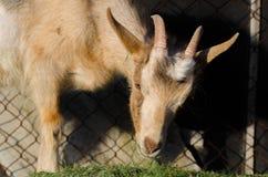 Een portret van witte geit Stock Foto