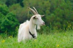 Een portret van witte geit in de weide Stock Afbeeldingen