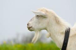 Een portret van witte geit in de weide Royalty-vrije Stock Foto's