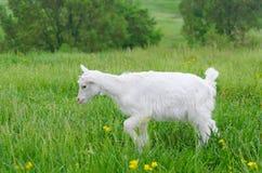 Een portret van witte geitjonge geitjes in de weide Stock Afbeeldingen