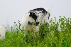 Een portret van witte geitjonge geitjes in de weide Stock Fotografie