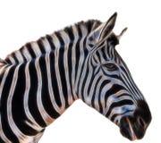 Een portret van een zebra stock foto's