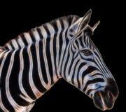 Een portret van een zebra royalty-vrije stock fotografie