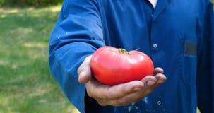 Een portretkerel, een landbouwer in een strohoed, een werkende robe neemt een tomaat op stock videobeelden