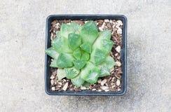 Een pot van cactus Stock Afbeelding