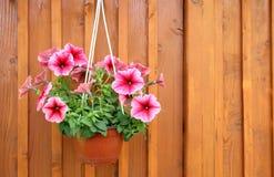 Een pot van petunia Stock Foto's