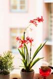 Een pot van rode orchideeën bij het venster stock afbeelding