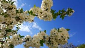 Een prachtig de lentedetail Bloeiende boom omhoog dicht en op de achtergrond Mooie blauwe hemel op de achtergrond stock foto's
