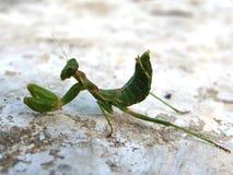 Een prachtig groen bidsprinkhaneninsect Stock Foto