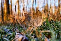 Een prachtige bruine daling van het esdoornblad neer van boom en nog het liggen in gras Een mooi detail op kleine aders op blad stock afbeelding