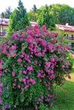 Een prachtige struik van mooie roze bloemen met kleine bloemblaadjes Het groeien op een groen gazon naast de slanke bomen stock foto's