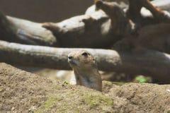 Een prairiehond in een dierentuin Stock Foto