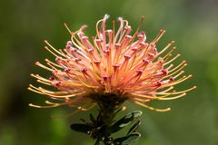 Een proteabloem in Cape Town, Zuid-Afrika wordt gefotografeerd dat Stock Afbeelding
