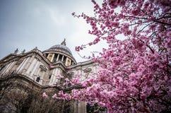 Een prunus drie die voor Saint Paul-kathedraal tot bloei komen royalty-vrije stock foto's