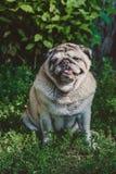 Een pug hondzitting op het gras royalty-vrije stock afbeeldingen