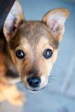 Een puppy Stock Fotografie
