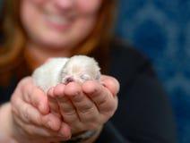 Een puppy in Hand 2 Stock Afbeeldingen