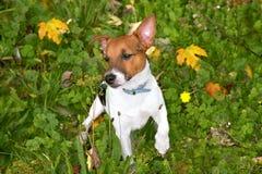 Een puppy Jack Russell die in weide spelen Stock Foto's