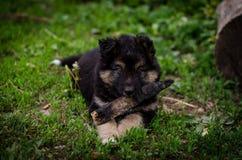 Een puppy met een stok Stock Afbeeldingen
