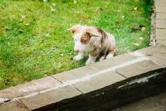 Een puppy van de Welse zitting van de corgicardigan droevig op een gazon stock fotografie