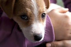 Een puppy van Jack Russel Stock Fotografie