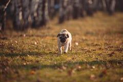 Een puppyhond, pug loopt naar de camera in een park op een de herfstdag royalty-vrije stock foto