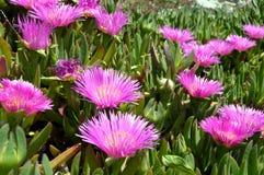Een purpere bloem Royalty-vrije Stock Afbeeldingen