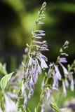 Een purpere funkia die in de tuin in de zomer bloeien Royalty-vrije Stock Foto