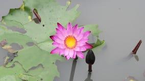 Een purpere lotusbloem stock footage