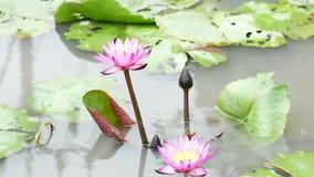 Een purpere lotusbloem stock video