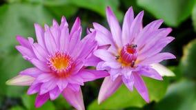 Een purpere lotusbloem en een bij stock footage