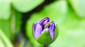 Een purpere lotusbloem en een bij stock video