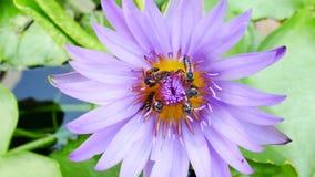 Een purpere lotusbloem en een bij stock videobeelden