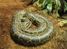 Een python Stock Afbeeldingen