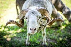 Een Ram Stock Foto's