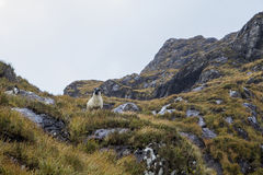 Een Ram aan een bergkant Royalty-vrije Stock Foto's
